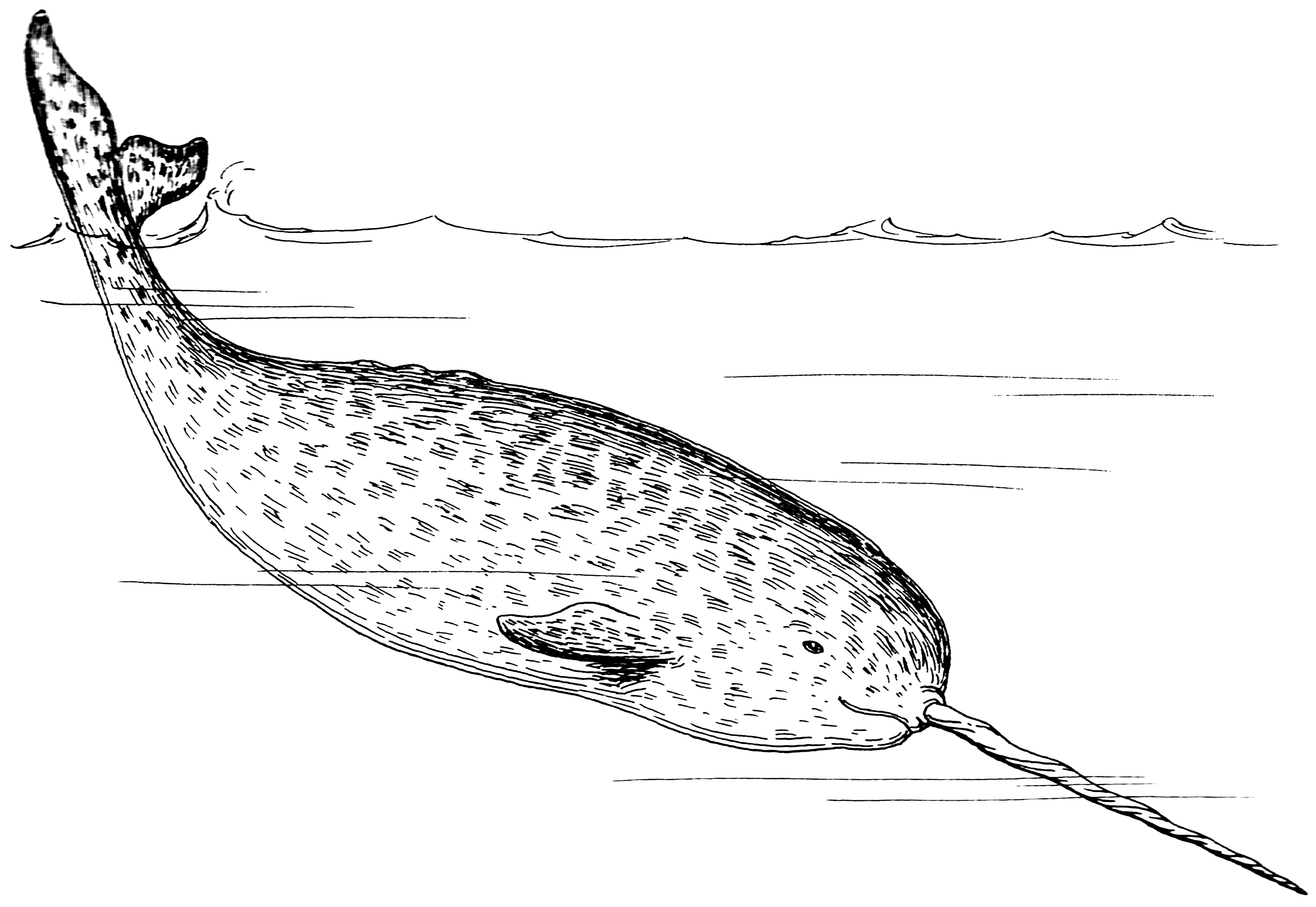 Narwhal_(PSF)