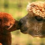 L'amore decolla a dorso d'alpaca