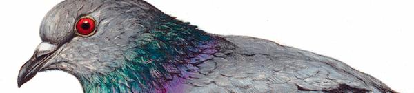 piccione featured