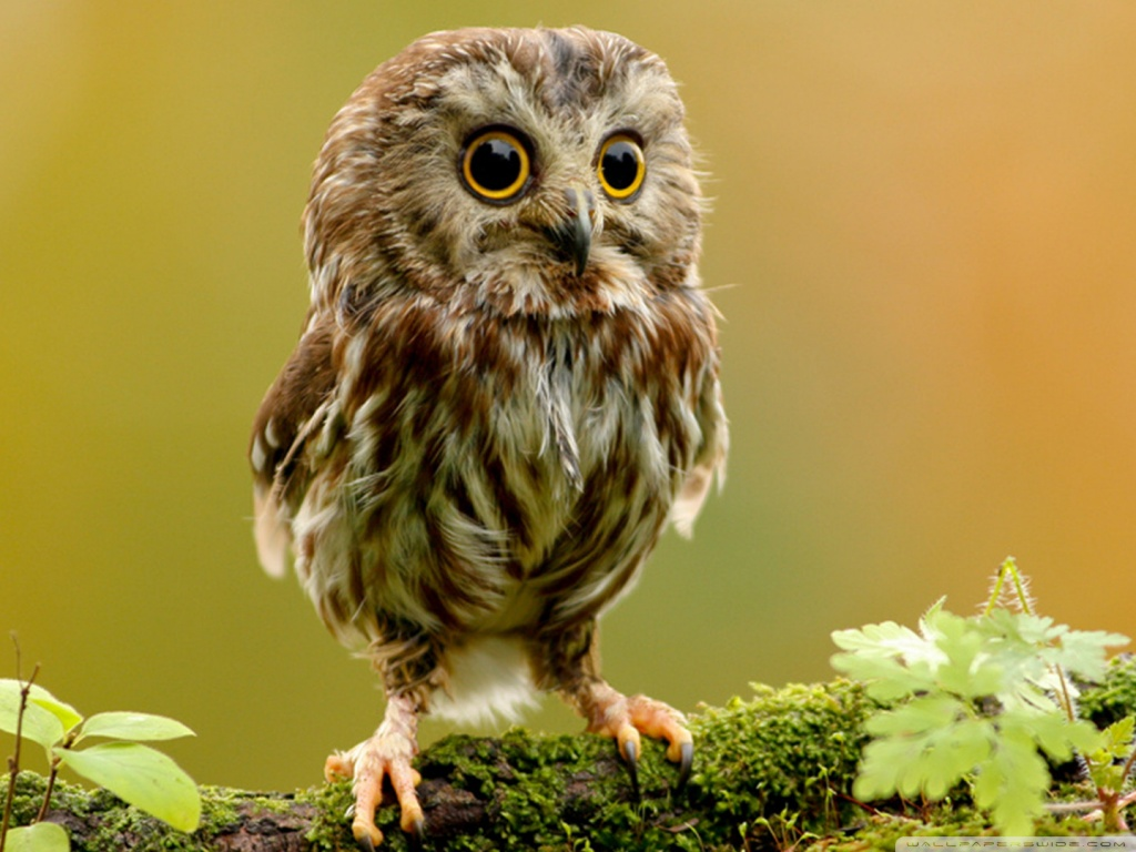 cute_owl-wallpaper-1024x768