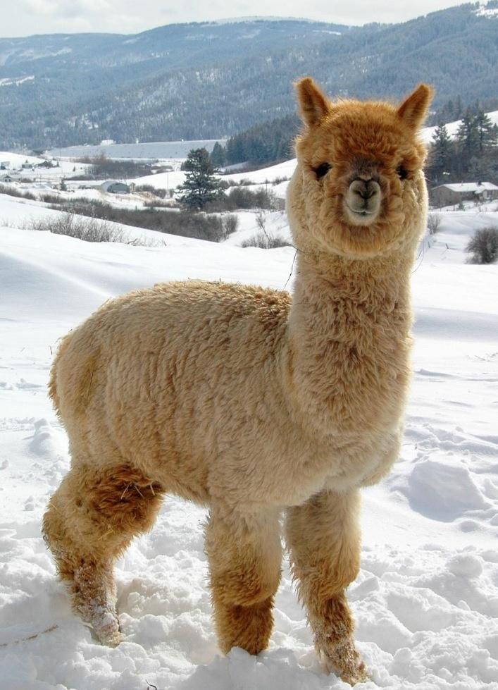 corriere dell alpaca 1