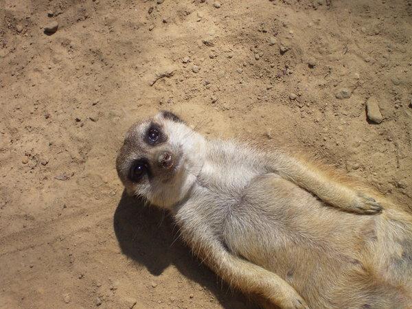 Meerkat_sunbathing_by_xxLana87xx