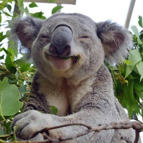 koala happy