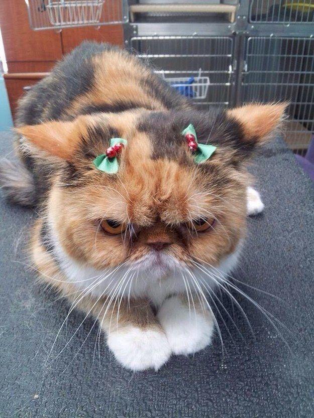 gatto supergrumpy